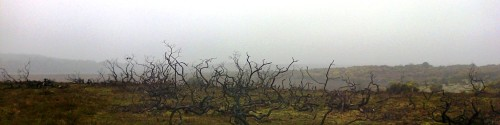 Burnt gorse near Wilverley
